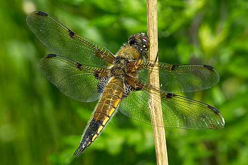 A Four Spotted Chaser dragonfly