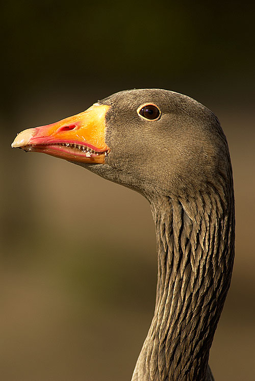 Greylag goose portrait.