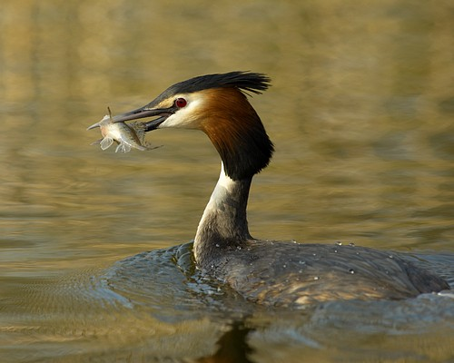 Great Crested Grebe with fish, on the River Ant, Norfolk