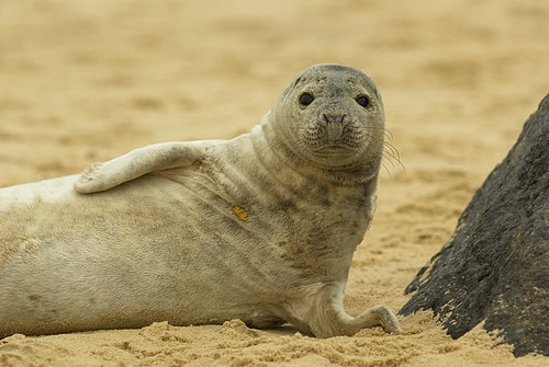 Grey Seal at Horsey, Norfolk