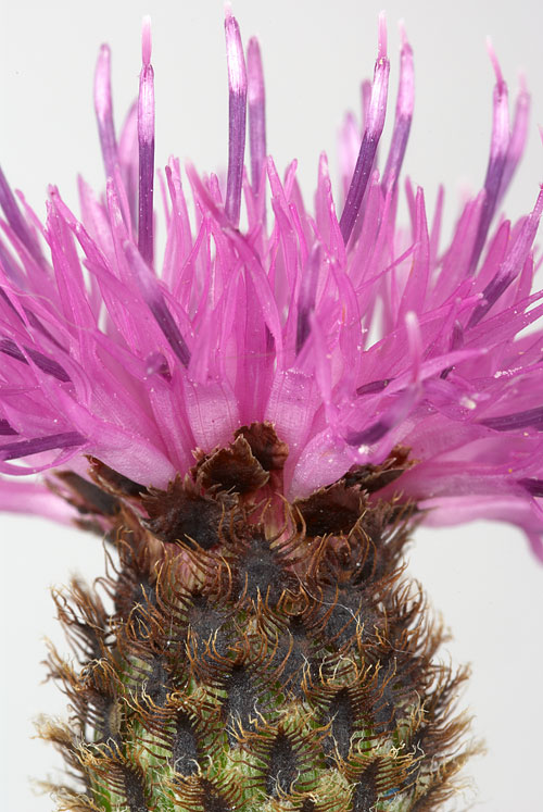 Knapweed – Urgh!  Looks like it's covered in ticks!