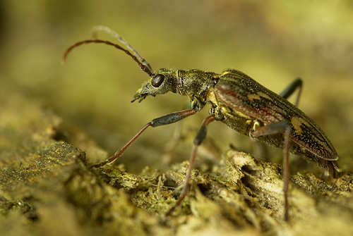 Longhorn Beetle photo, taken handheld at 1/8s, with the benefit of image stabilization built into camera body (Pentax K10D)