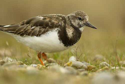 Turnstone at Salthouse, Norfolk