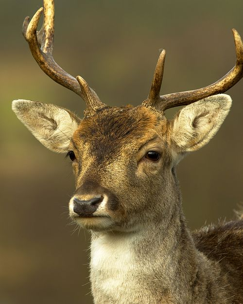 A Fallow Deer buck, taken at Weald Country Park in Brentwood, during a 1-2-1 photography tuition session.