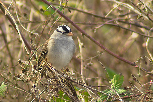 White Crowned Sparrow at Cley, Norfolk